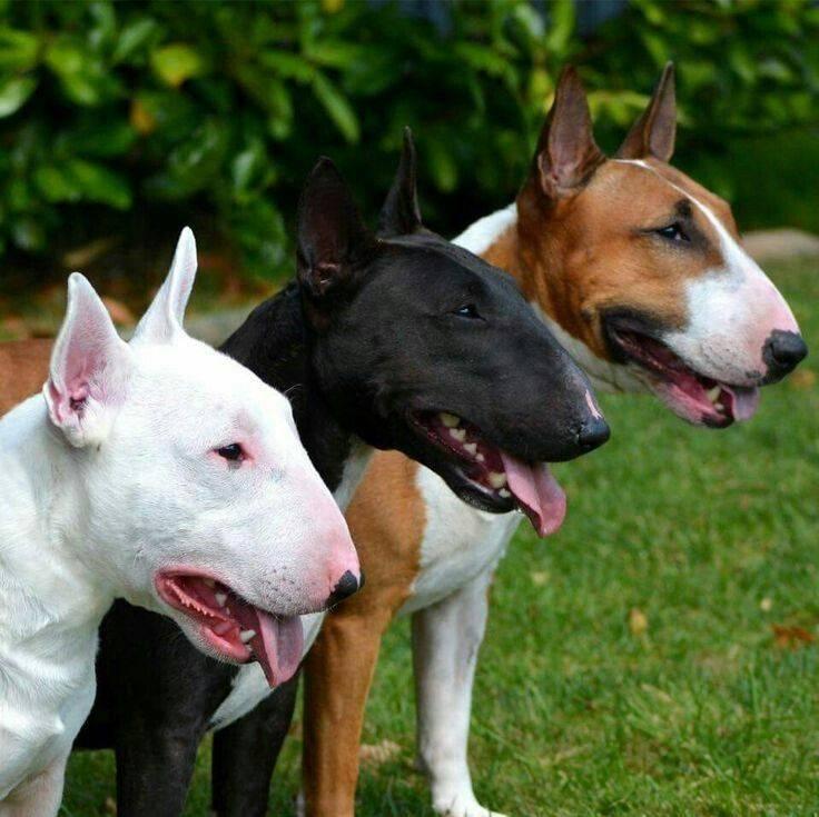 Бойцовские собаки: основные боевые породы и их описание