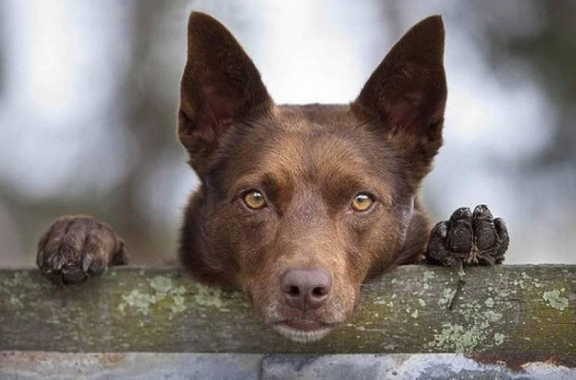 Австралийский келпи: фото, описание породы, отзывы, характер, видео