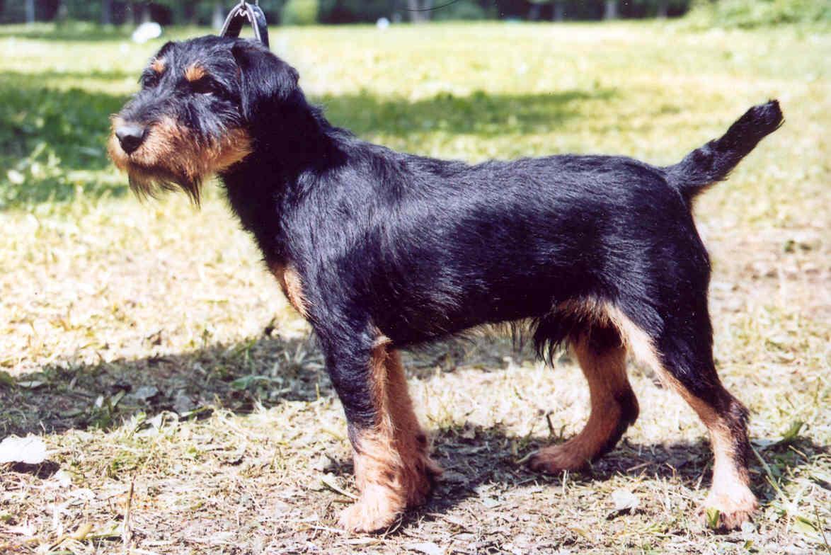 Немецкий ягдтерьер - стандарт и характер собаки, дрессировка щенков, особенности кормления и содержания