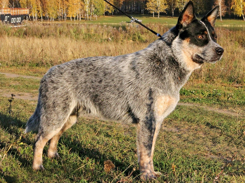 Австралийские породы собак с фотографиями и краткими пояснениями