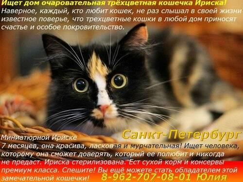Трёхцветная кошка - приметы народные (в доме, прибилась, с разными глазами)