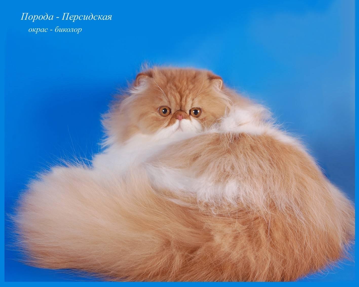 Персидская кошка: подробное описание, фото, купить, видео, цена, содержание дома