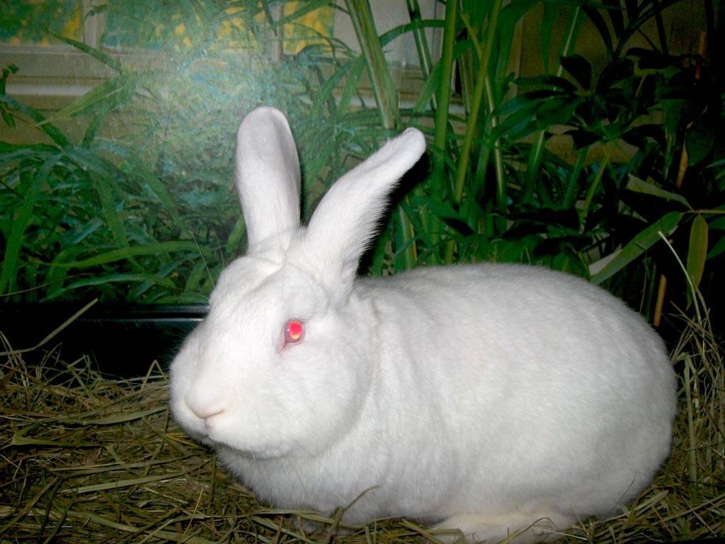 Новозеландский кролик: красный (нзк), белый (нзб), черный (нзч)