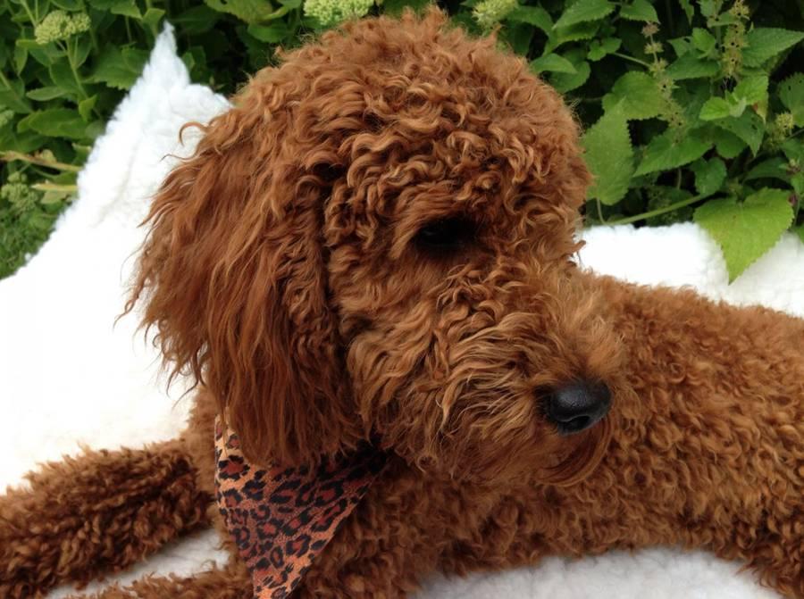 Пушистые собаки (52 фото): самые лохматые породы в мире, собаки с длинной шерстью, самые волосатые щенки с названиями