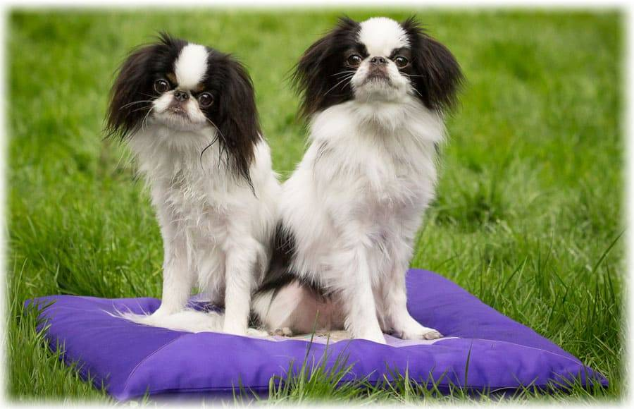 Японский хин: описание и характер собаки