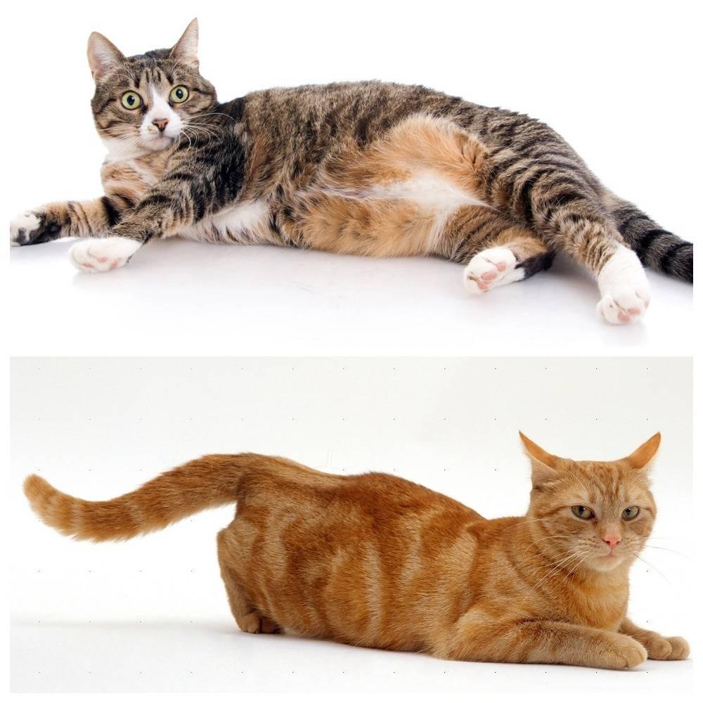 Течка у кошек: сколько длится, как проявляется и что делать