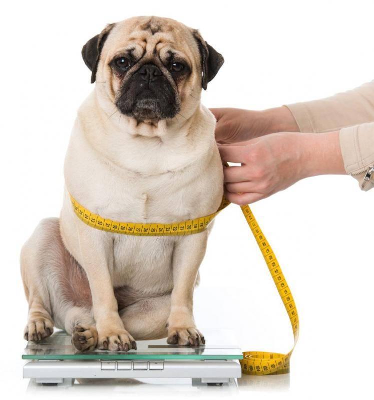 Ожирение у собак - симптомы, диагностика, лечение   берлога