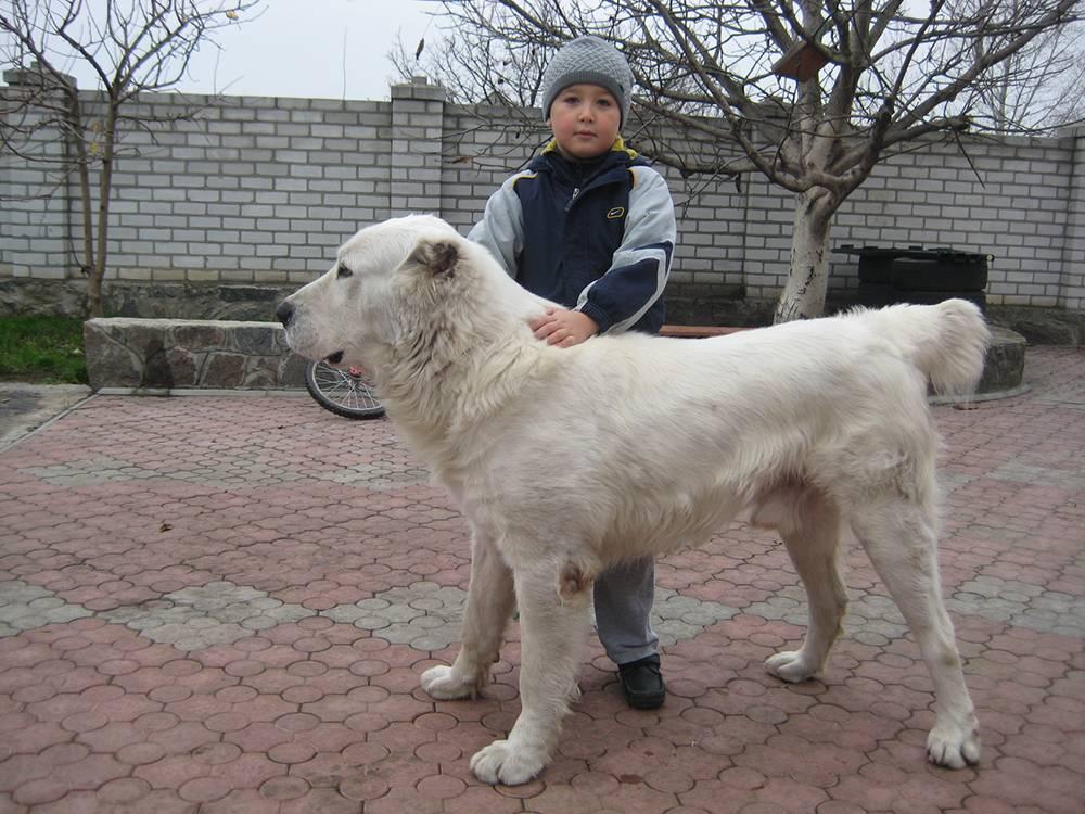 Туркменский алабай (фото): свирепый охранник, надежный защитник