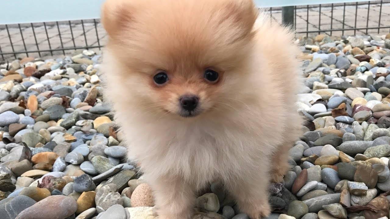 Топ самых маленьких карликовых собак с фотографиями и названиями, рейтинг по популярности