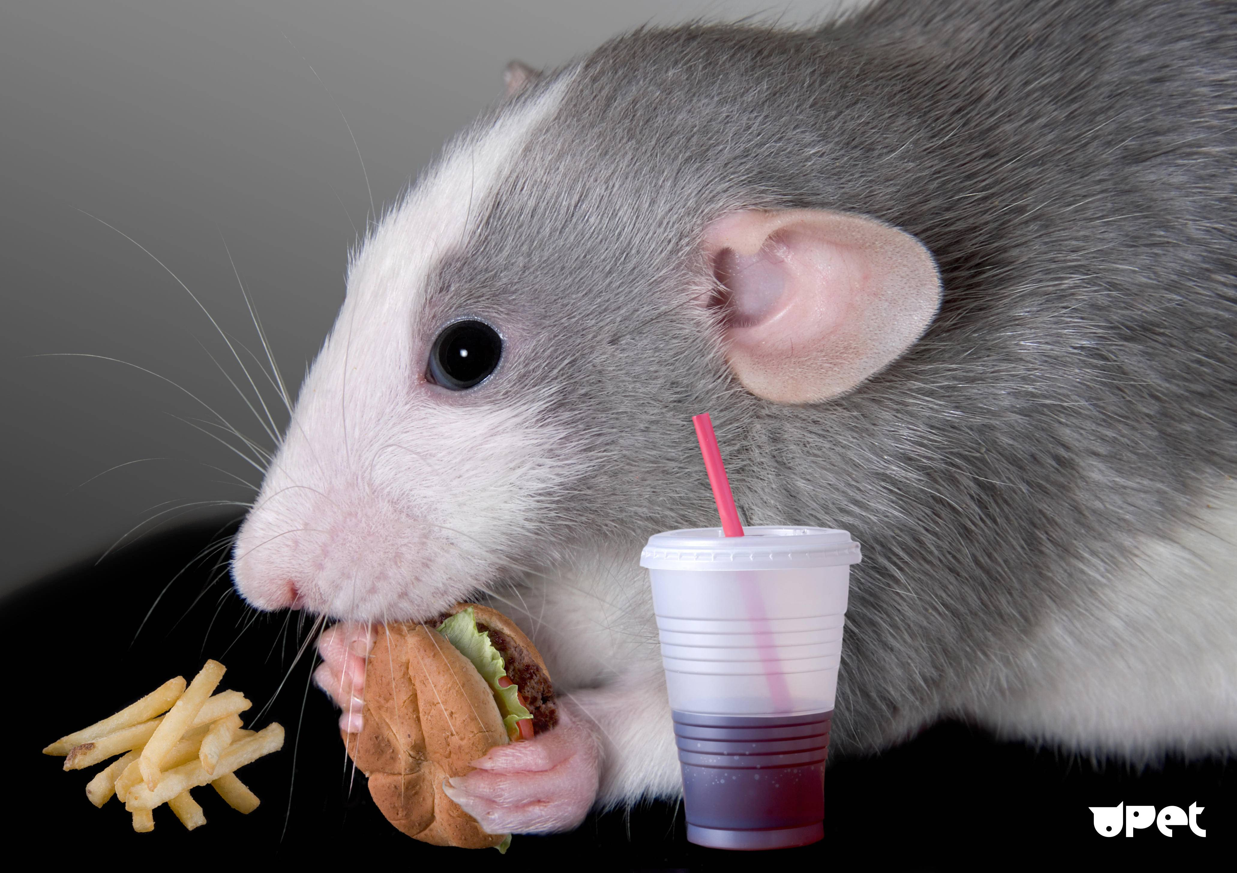 Чем питается мышь природе (поле, лес) и в частном доме или в квартире?