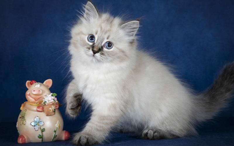 Невская маскарадная кошка, какая она?
