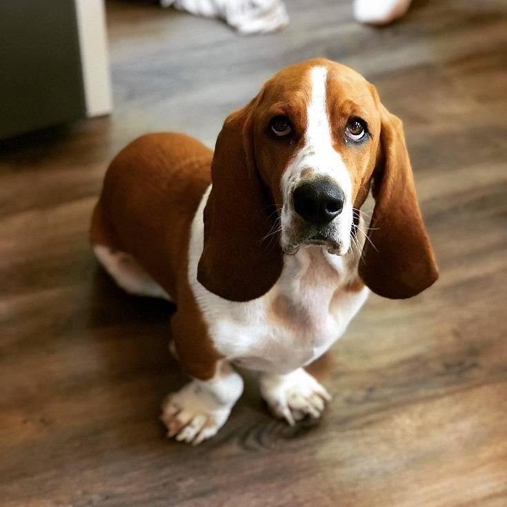 Описание породы бассет-хаунд — собаки с длинными ушами, уход, достоинства и недостатки