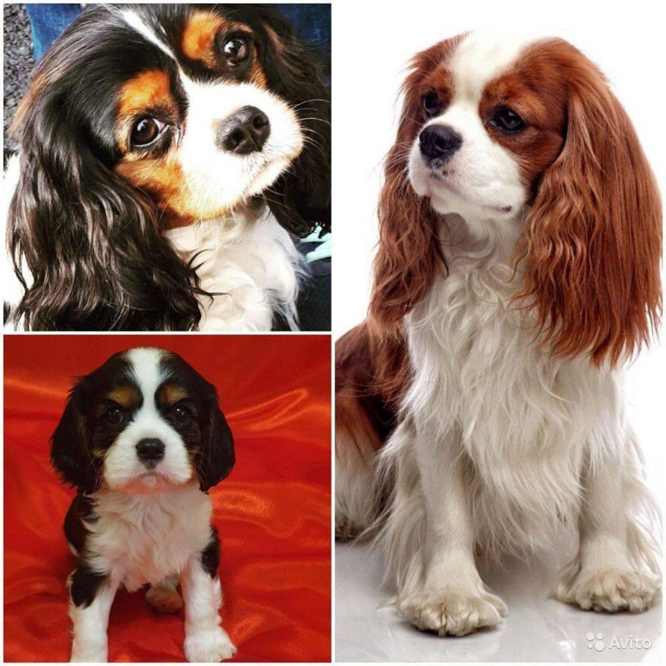 Кавалер кинг чарльз спаниель собака. описание, особенности, уход и цена породы
