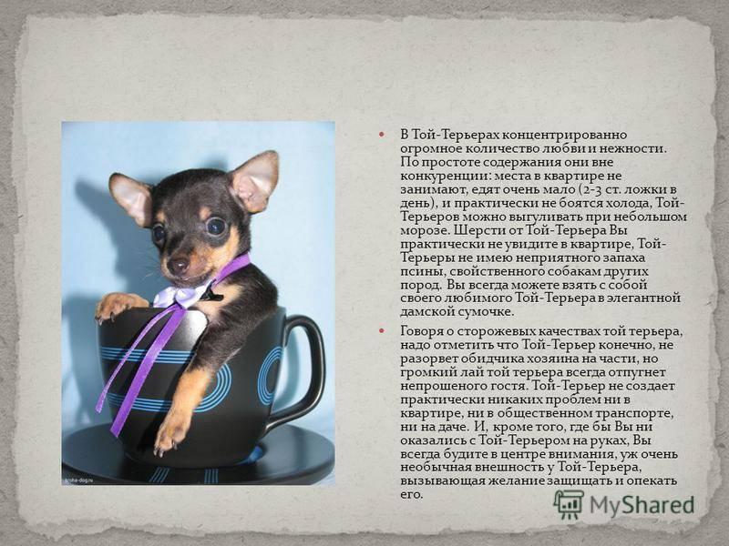 Русский черный терьер: описание породы, уход и содержание, воспитание и дрессировка