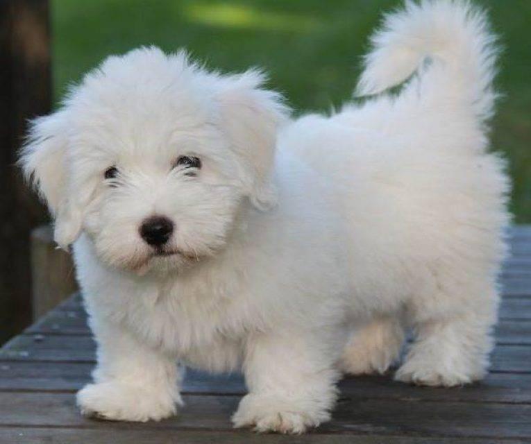 Порода собак котон-де-тулеар и ее характеристики с фото
