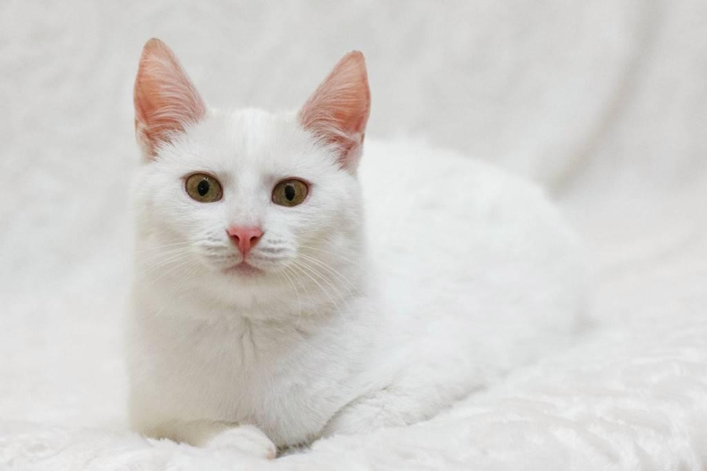 Анатолийская кошка: описание породы, история, уход, цена