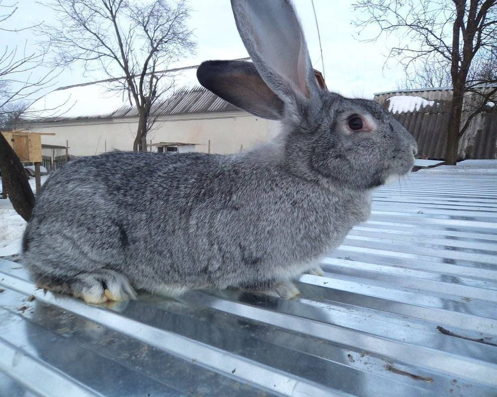 Все о кроликах породы белый великан