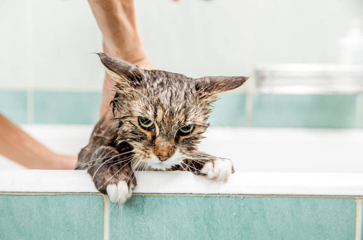 Почему кошки и коты боятся воды | как купать
