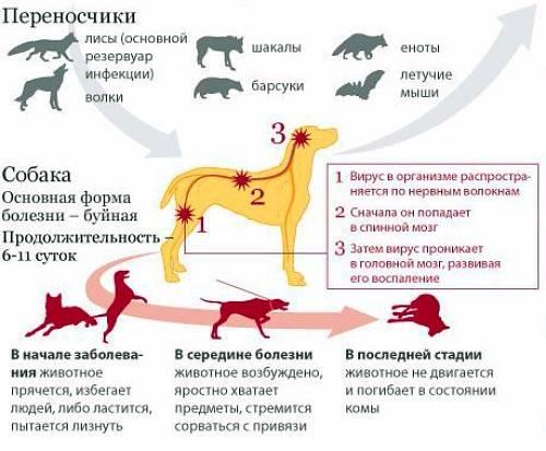 Парвовирус у собак — симптомы и причины заболевания | hill's pet