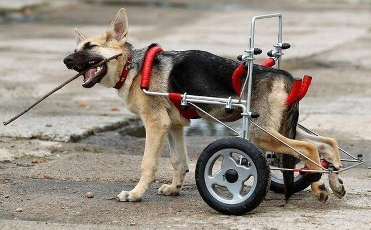 Отказ задних лап у собак - симптомы, причины, первая помощь | нижний новгород