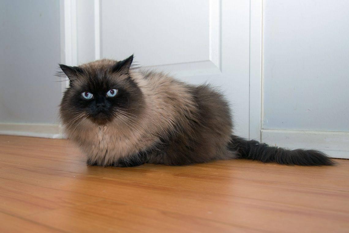 Гималайская кошка— описание породы, уход и содержание