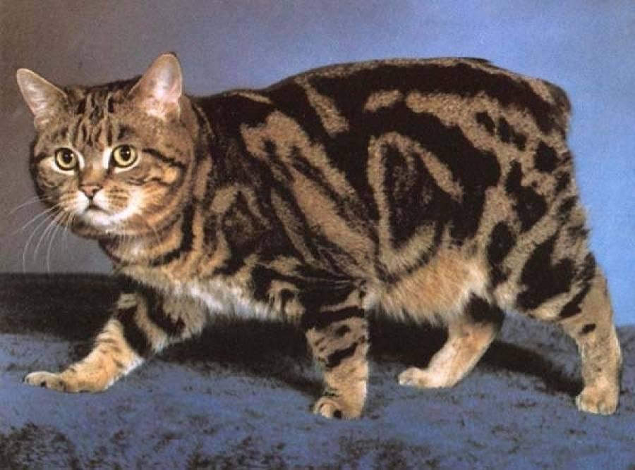 Без хвоста: породы очаровательных кошек