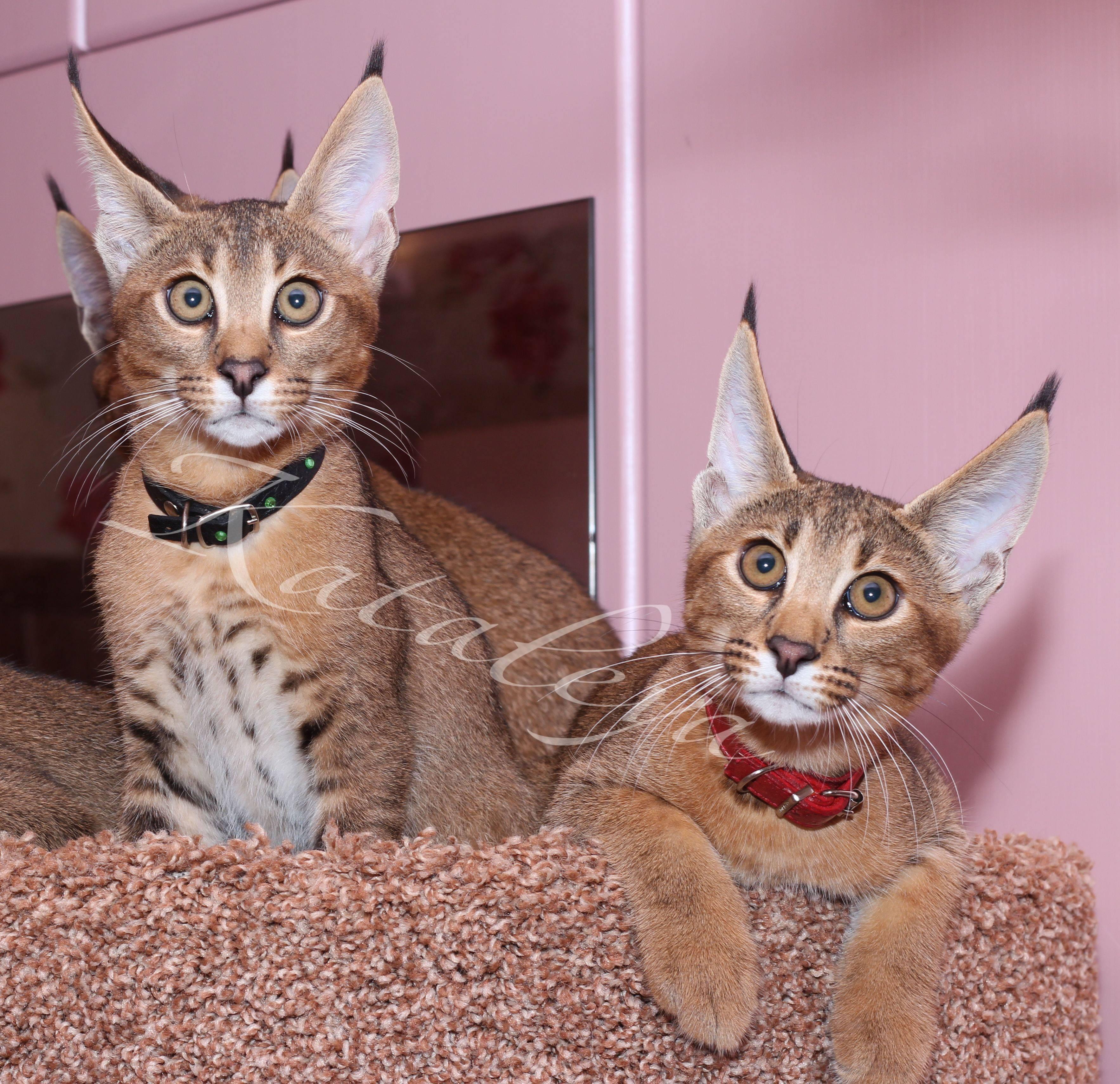 Кошки с кисточками на ушах [фото + список пород]