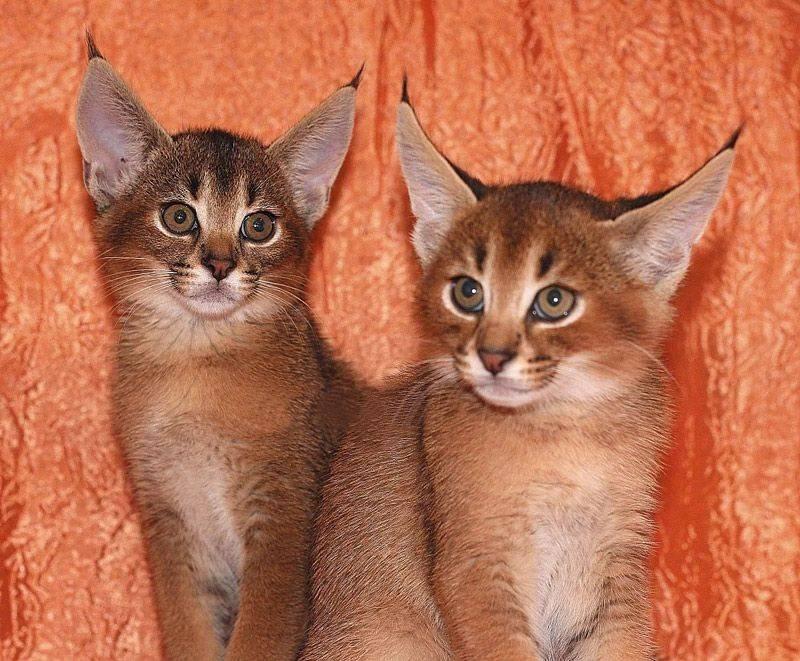 Захотелось экзотики: 4 породы кошек, которые похожи на рысь
