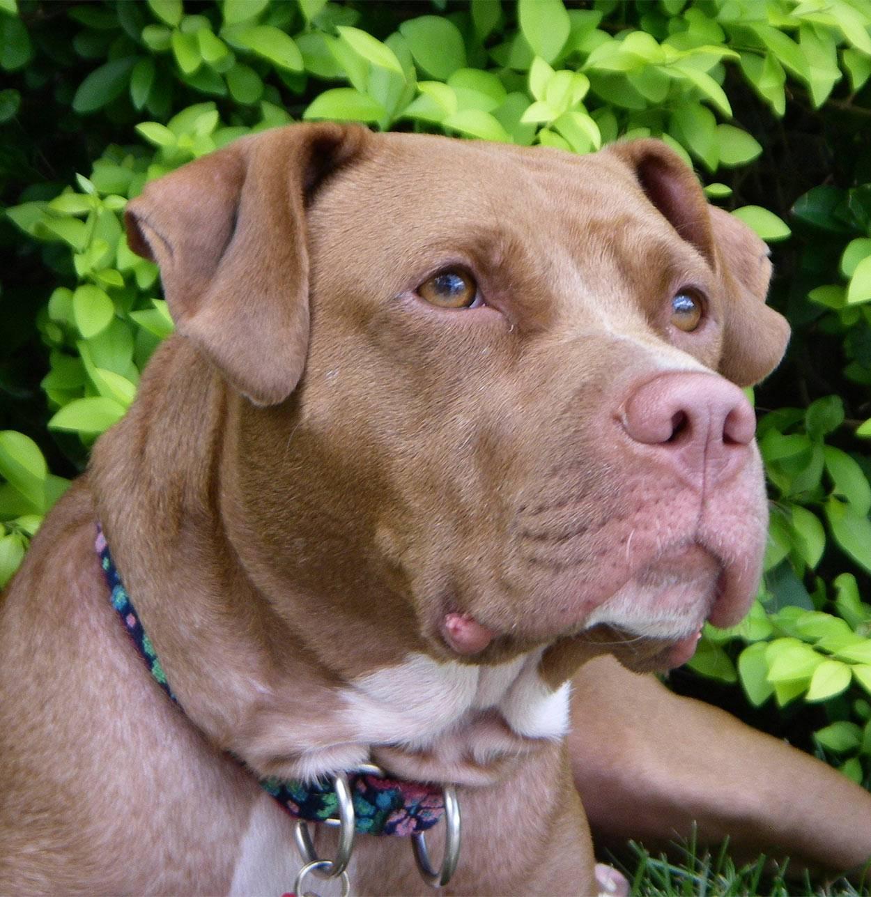 Порода собак американский питбультерьер: описание, особенности характера и фото белого питбуля