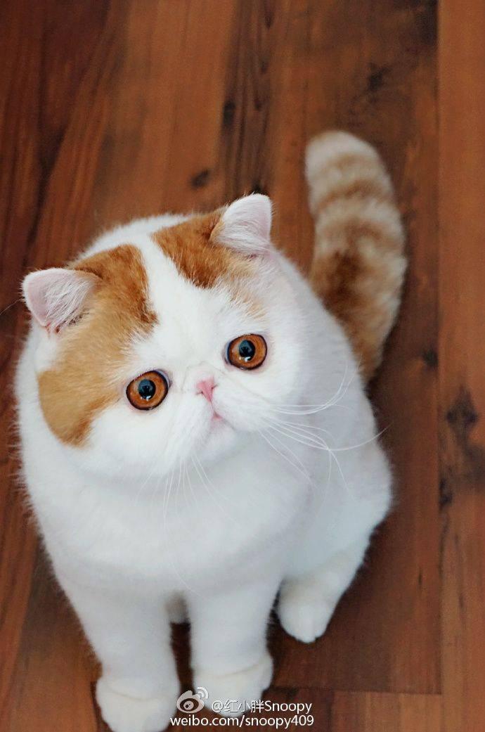 Коты с приплюснутой мордой: породы и особенности брахиоцефальных кошек