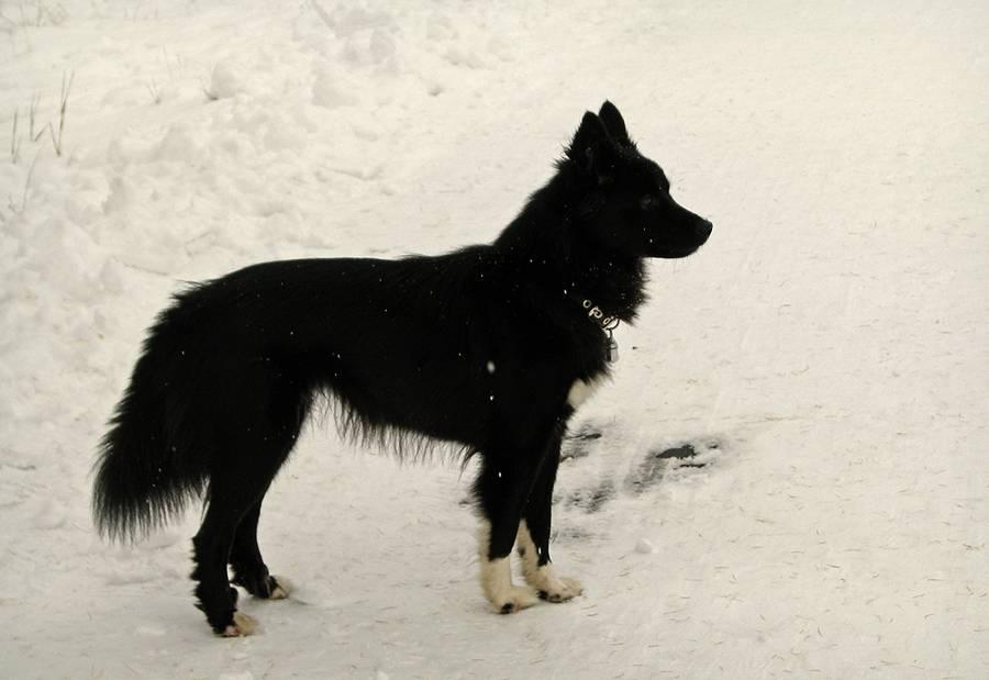 Ненецкая лайка: не признанный северный питомец с роскошным экстерьером