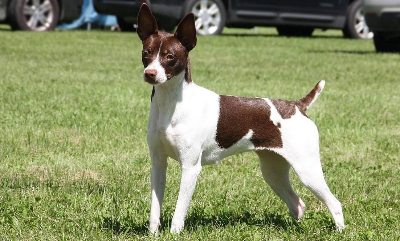 Собака-крысолов или рэт-терьер: характер пса, содержание и уход, выбор щенка
