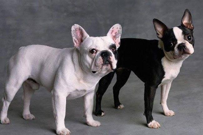 Бульдоги щенки: фото, описание породы, характер, уход, цена