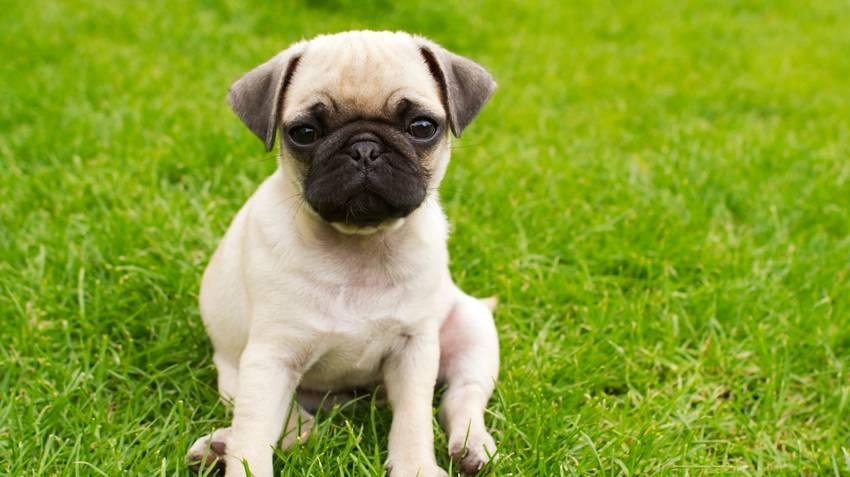 Как назвать мопса мальчика и девочку и какие имена подойдут для собак, как можно придумать кличку в зависимости от характера