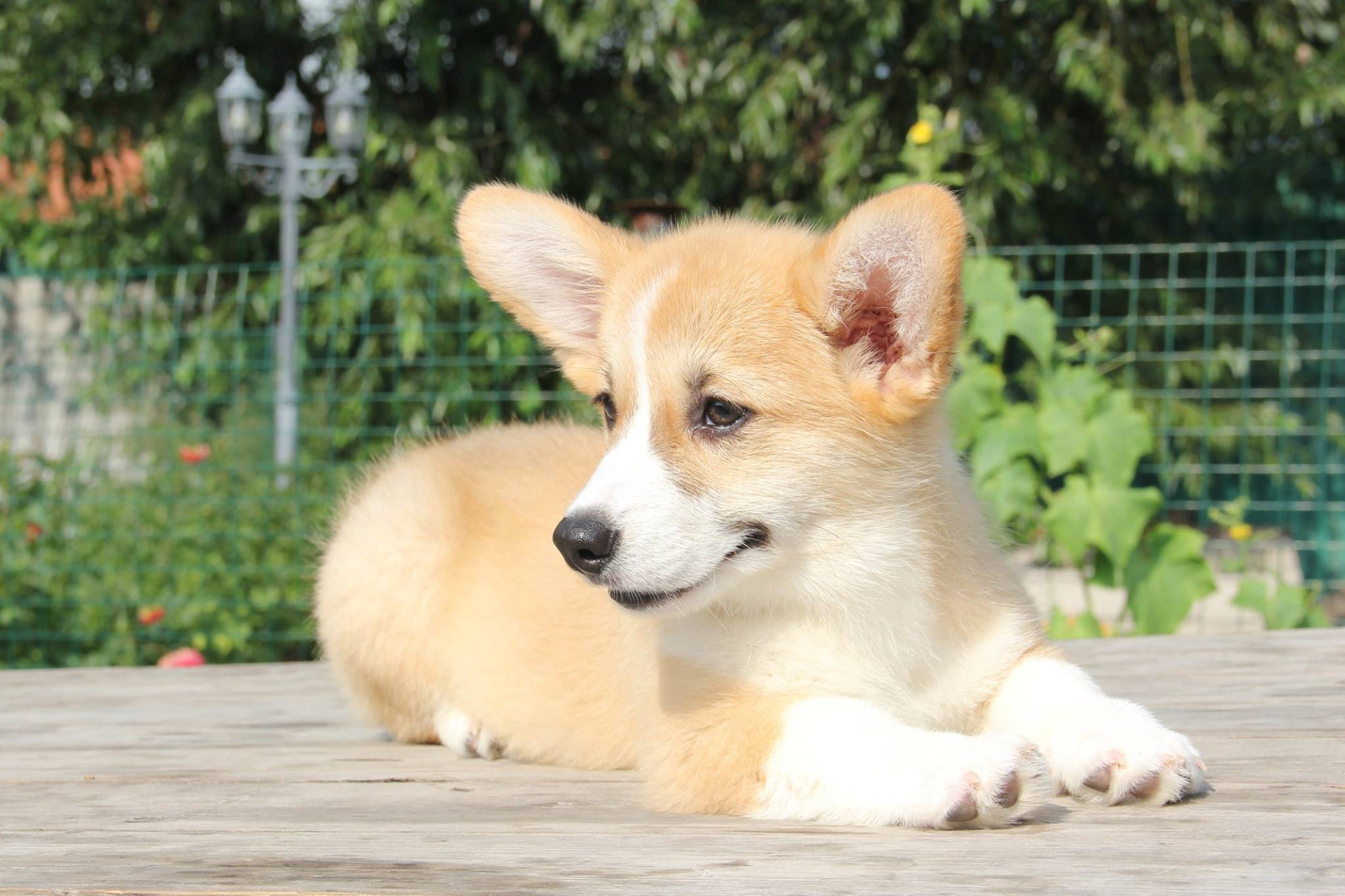 Лиса или собака: особенности ухода за породой вельш-корги