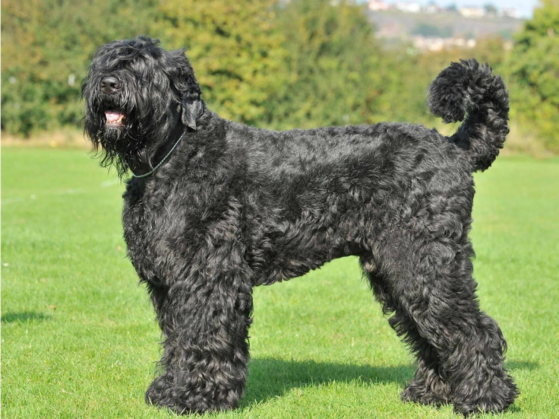 Русский черный терьер описание породы собак, фото и видео материалы, отзывы о породе