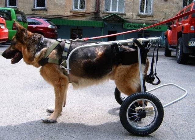 Отказ задних лап у собаки. лечение.