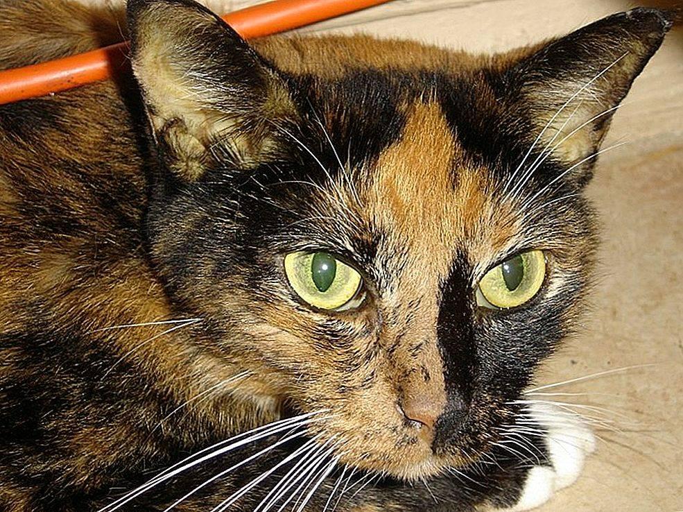 Гепатопатия у кошек: болезни печени, симптомы и лечение