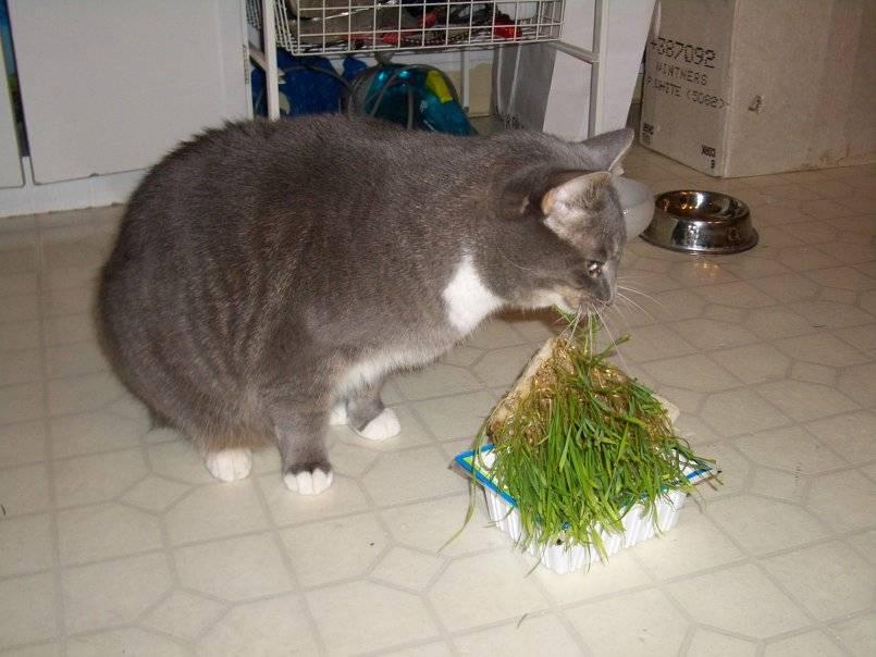 Зачем кошка ест траву?