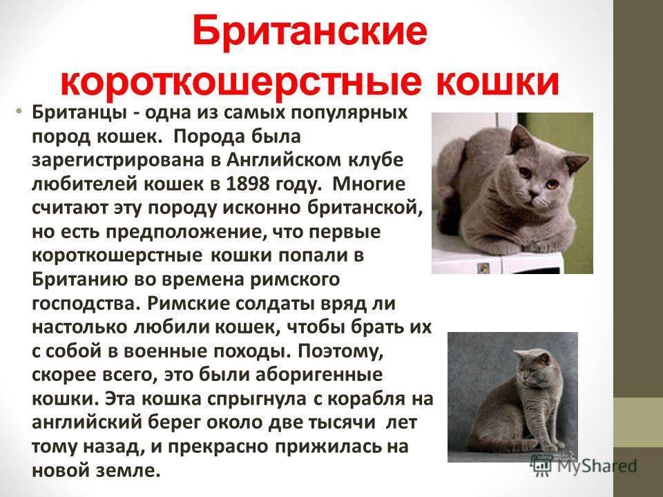 Кошки британские вислоухие: описание породы, характер, особенности ухода