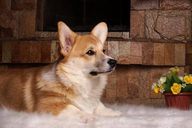 Порода собак вельш корги пемброк: описание с фото, характер, содержание и уход
