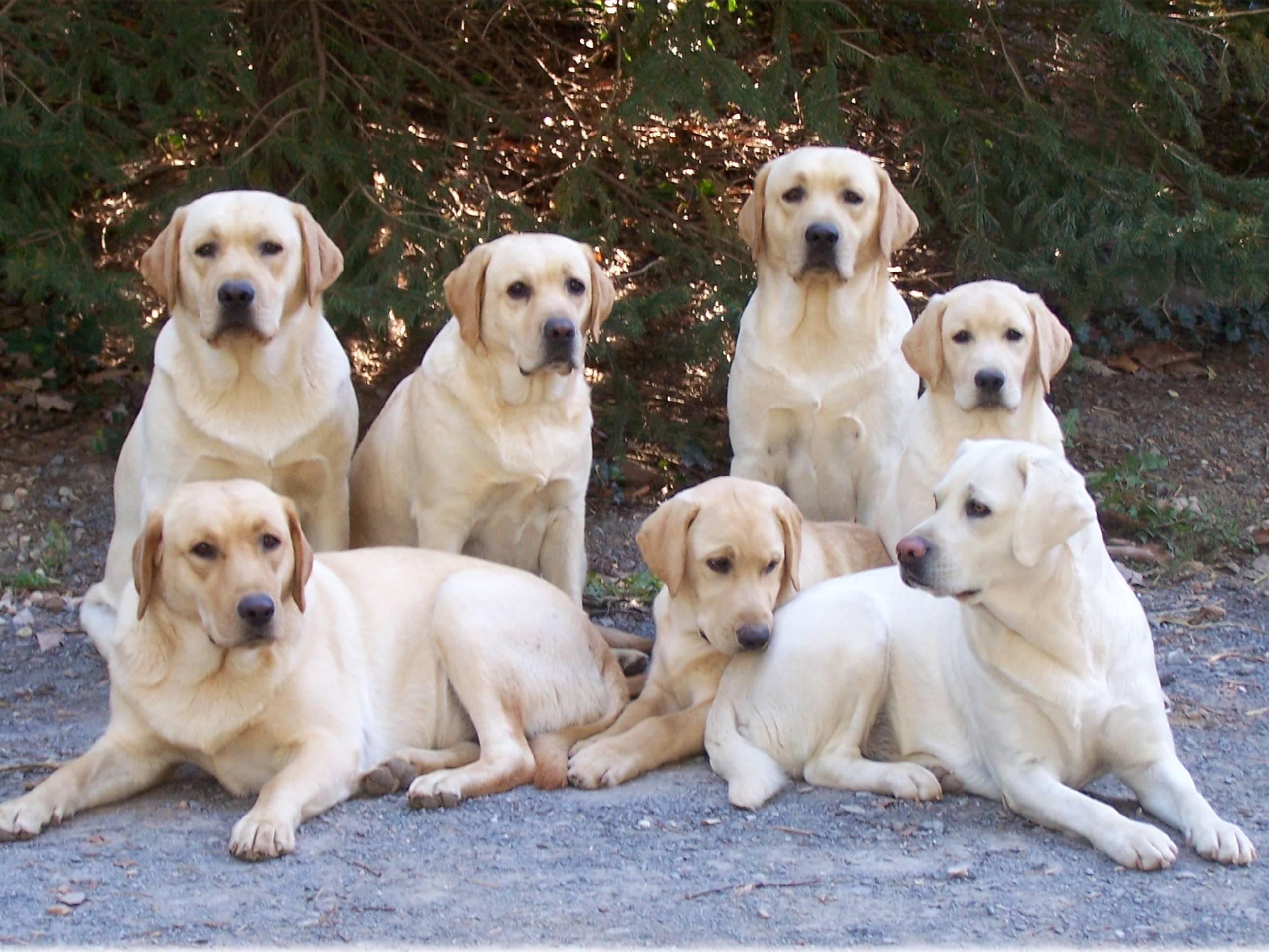 Золотистый ретривер - описание породы и характер собаки, уход и кормление, выбор щенков и цена
