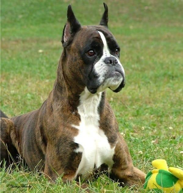 Боксер собака: описание (рост, вес, как выглядит, сколько живет и стоит) и характеристика немецкой и американской породы с фото, ценами на щенков, отзывами владельцев