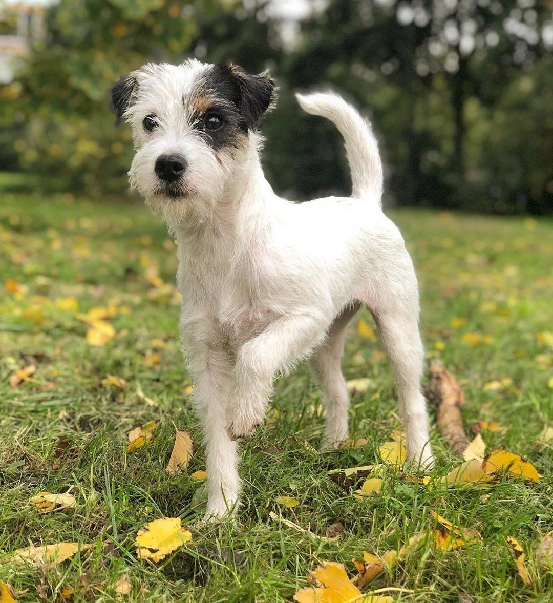 Порода собак парсон рассел терьер — энергичная, выносливая и бесстрашная порода