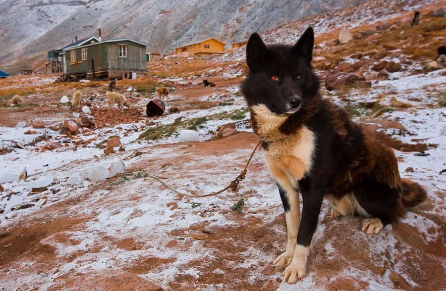 Гренландская собака (21 фото): описание собак ездовой породы, характер щенков гренландсхунд. условия для их содержания