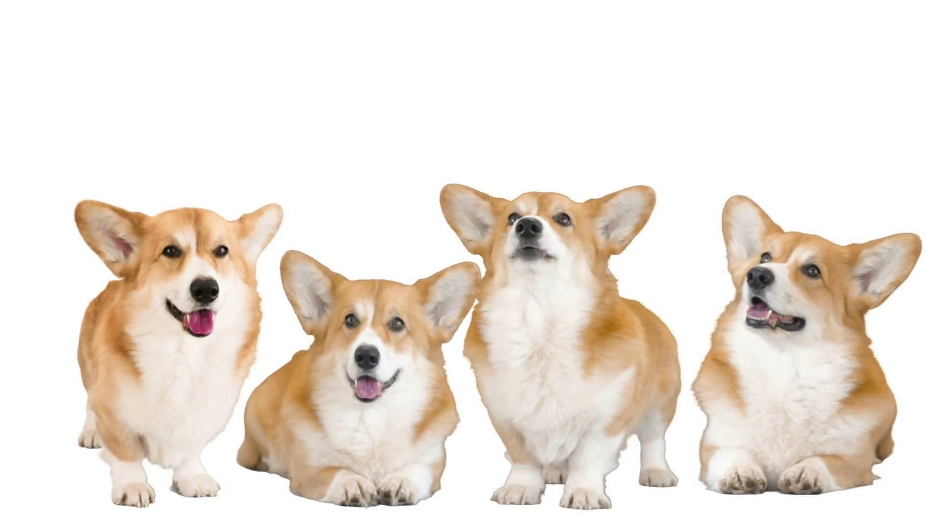 Вельш-корги-пемброк: описание породы, характер собаки и щенка, фото, цена
