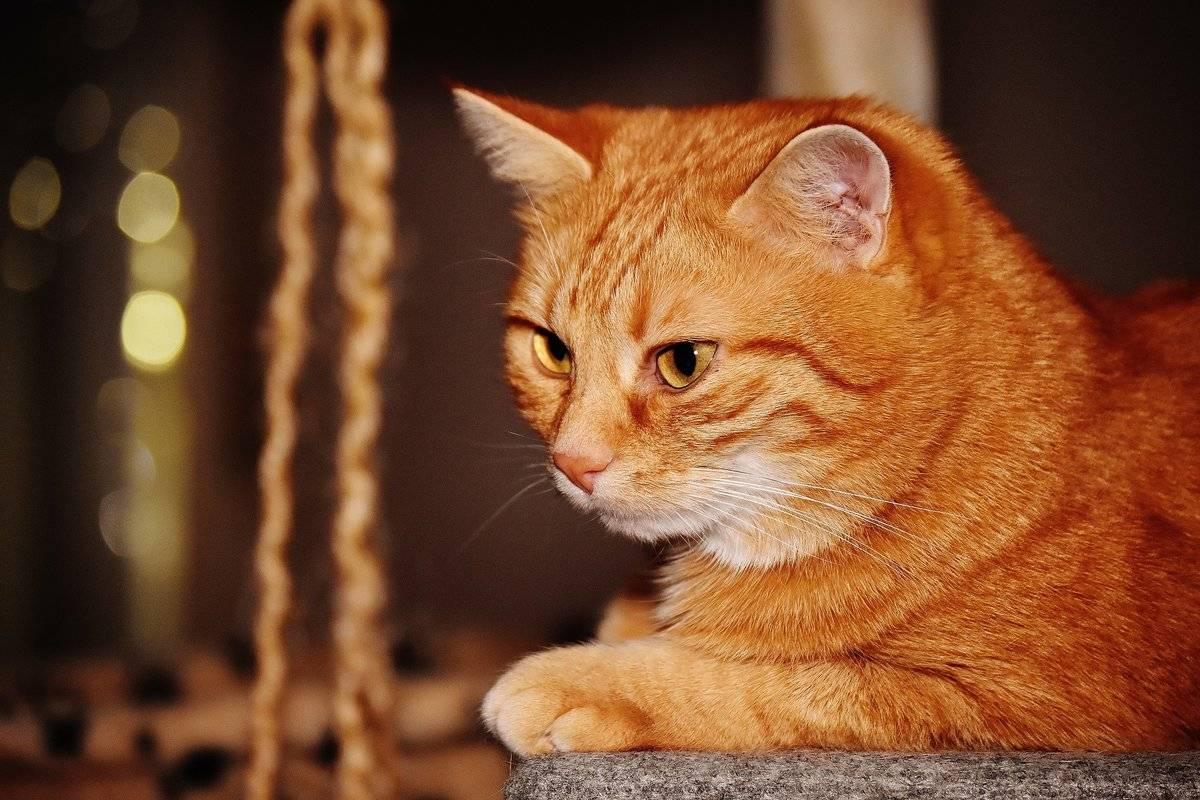 Рыжие коты: чем привлекают, и что приносят в дом питомцы солнечного окраса