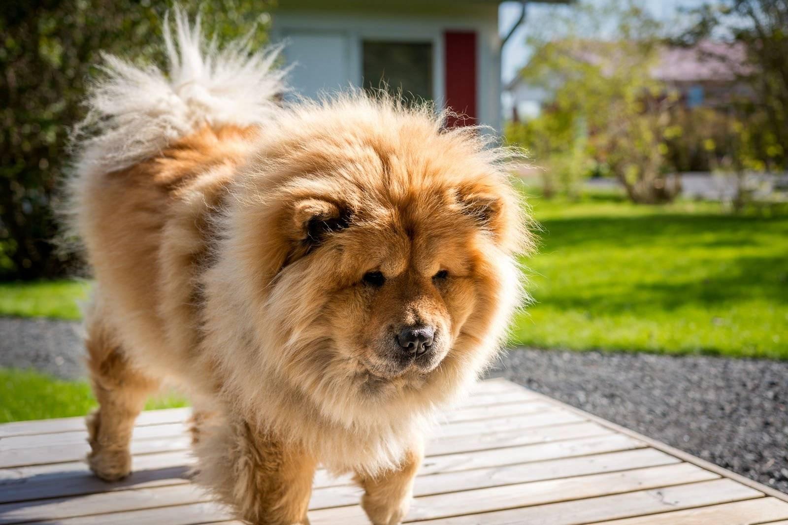Чау-чау порода собак. описание, особенности, уход и цена собаки чау-чау   животный мир