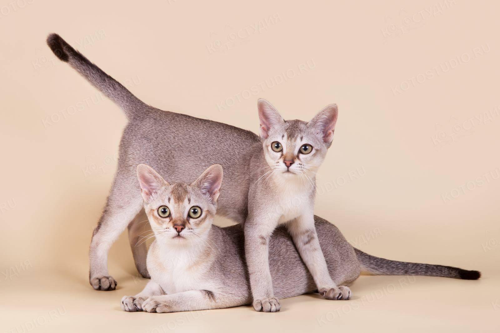Цейлонская кошка - характер, уход, питание и болезни породы