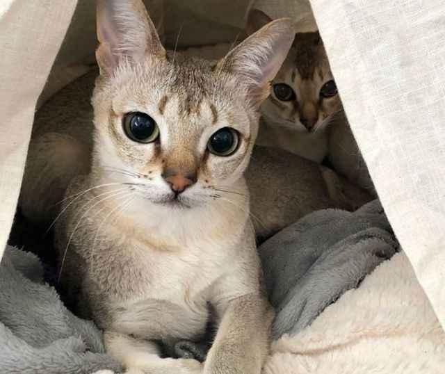 Сингапурская кошка: описание породы с фото — pet-mir.ru